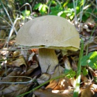 Cepe mushroom at Zalan, Transylvania. Photo: count Kalnoky.