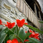 Tulips at Prince Charles Cottage, Zalan, Transylvania. Photo: count Kalnoky.