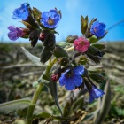 Lungwort (Pulmonaria officinalis), Zalan, Transylvania. Photo: count Kalnoky.