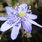 Endemic Transylvanian Blue Eyes, hepatica transsylvanica, Zalan. Photo: count Kalnoky.