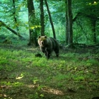 Bear sighting near Zalan, Transylvania. Photo: count Kalnoky.