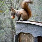 Red squirrel pilfering a walnut from Prince Charles Cottage, Zalan, Transylvania. Photo: count Kalnoky.